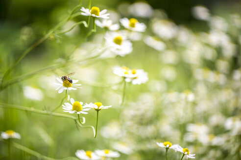 Chamomile flowers with bee - SARF001887