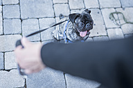 Woman holding dog lead of her pug - PAF001440