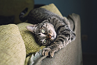 Portrait of tabby cat stretching on the backrest of a couch - RAEF000210