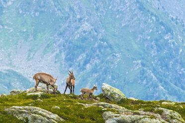 Switzerland, Lac de Cheserys, three Alpine Ibex in the mountains - LOMF000016