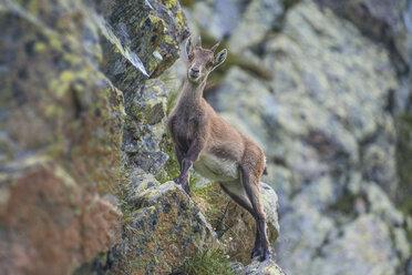 Switzerland, Lac de Cheserys, Alpine Ibex on a rock - LOMF000020