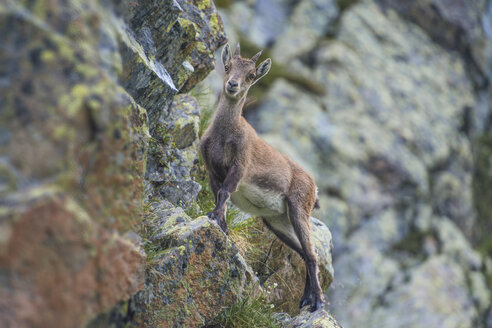 Switzerland, Lac de Cheserys, Alpine Ibex on a rock - LOMF000020