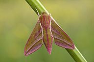 Deilephila elpenor - MJOF001021