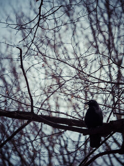 Raven sitting on a bare tree - KRPF001464