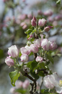 Germany, Bavaria, Apple blossoms - CRF002690
