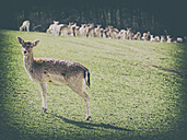 Germany, Black Forest, roe deer standing on a meadow - KRPF001466