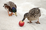 Two ducks and an apple - TAMF000055