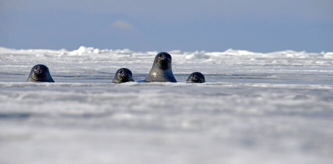 Russia, Lake Baikal, Baikal seals looking out from ice hole - GNF001344