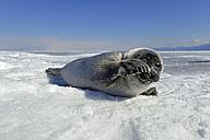 Russia, Lake Baikal, Baikal seal on frozen lake - GNF001349