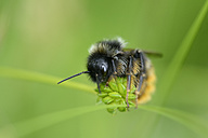 Bumble bee, Bombus, sitting on blossom - MJOF001029