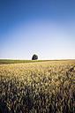 Germany, Baden-Wuerttemberg, wheat field - LVF003637