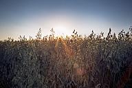 Germany, Baden-Wuerttemberg, Oat field against the sun - LVF003639