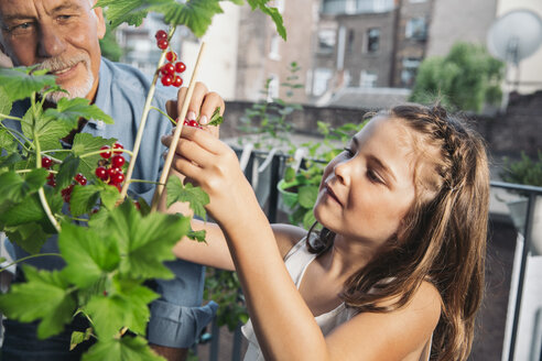 Grandfather and granddaughter picking red currants from balcony - MFF001726