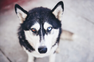 Portrait of husky with odd eyes - GEMF000264