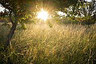 Germany, Bavaria, Chiemgau, meadow with grasses and tree in the morning light - HAMF000049