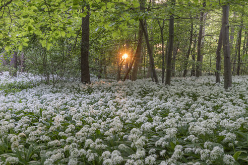 Germany, Wolfenbuettel, blossoming ramson at Elm Nature Park in the evening - PVCF000463
