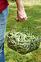 Woman holding wire basket of freshly harvested peas - HAWF000808