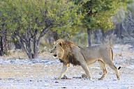 Namibia, Etosha National Park, walking lion - FOF008114