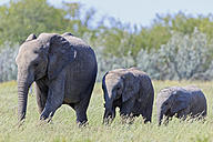 Namibia, Etosha National Park, African elephant and two elephant babies - FOF008118