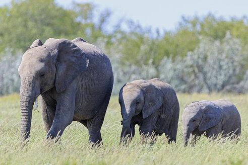 Namibia, Etosha National Park, African elephant and two elephant babies - FOF008118