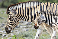 Namibia, Etosha National Park, plains zebra with foal - FOF008123