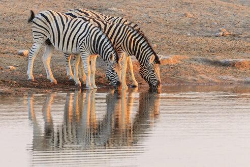 Namibia, Etosha National Park, plains zebras at water hole - FOF008125
