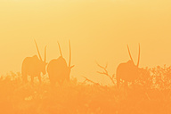 Namibia, Etosha National Park, silhouettes of three gemsboks by sunset - FOF008132