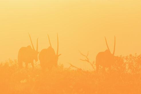 Namibia, Etosha National Park, silhouettes of three gemsboks by sunset - FOF008132