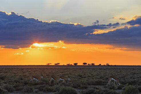 Namibia, Etosha National Park, springboks by sunset - FOF008135