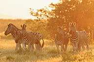 Namibia, Etosha National Park, plains zebras by sunset - FOF008140