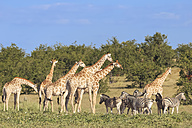 Namibia, Etosha National Park, giraffes and plains zebras - FOF008141