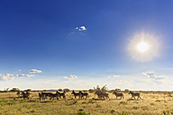 Namibia, Etosha National Park, herd of plains zebras - FOF008142