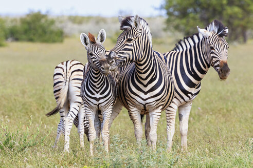 Namibia, Etosha National Park, family of plains zebras - FOF008143