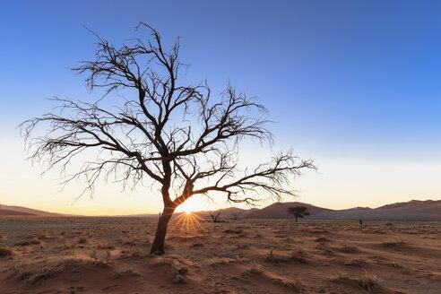 Namibia, Namib Desert, Namib Naukluft National Park, dead acacia at backlight - FOF008180