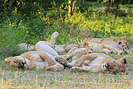 Zimbabwe, Urungwe District, Mana Pools National Park, pride of lions - FOF008225