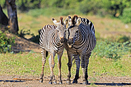 Zimbabwe, Urungwe District, Mana Pools National Park, two burchell's zebras - FOF008228