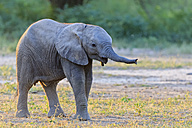 Africa, Zimbabwe, Mana Pools National Park, baby elephant - FOF008229
