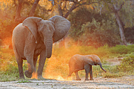 Africa, Zimbabwe, Mana Pools National Park, cow elephant with baby elephant - FOF008234