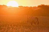 Botswana, Kalahari, Central Kalahari Game Reserve, gemsbok at sunset - FOF008263