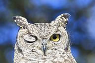 Botswana, Kalahari, Central Kalahari Game Reserve, portrait of spotted eagle owl with one eye closed - FOF008265