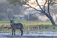 Zimbabwe, Urungwe District, Mana Pools National Park, water goat and herd of impalas - FOF008238