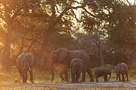 Africa, Zimbabwe, Mana Pools National Park, herd of elephants with young animals - FOF008242