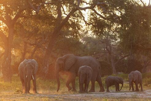 Africa, Zimbabwe, Mana Pools National Park, herd of elephants with young animals - FOF008242