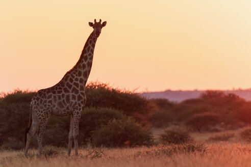 Botswana, Kalahari, Central Kalahari Game Reserve, giraffe at sunrise - FO008281