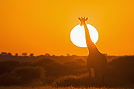 Botswana, Kalahari, Central Kalahari Game Reserve, giraffe at sunrise - FOF008266