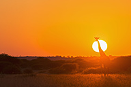 Botswana, Kalahari, Central Kalahari Game Reserve, giraffe at sunrise - FOF008267
