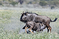 Botswana, Kalahari, Central Kalahari Game Reserve, blue wildebeest with young animal - FOF008278