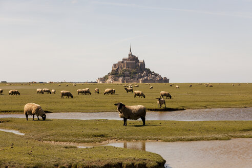 France, view to Mont Saint-Michel with grazing flock of sheep in the foreground - HCF000131