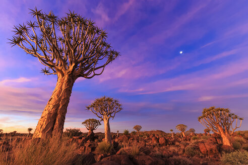 Africa, Namibia, Keetmanshoop, Quiver Tree Forest at sunset - FOF008282