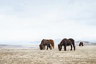 Iceland, grazing Icelandic Horses - SMAF000352